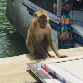 Komodské ostrovy opice